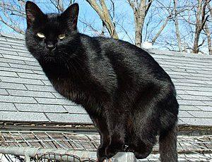300px Blackcat Lilith1