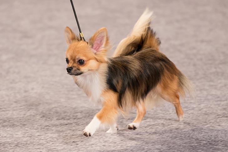 Chihuahua at the AKC National Championship