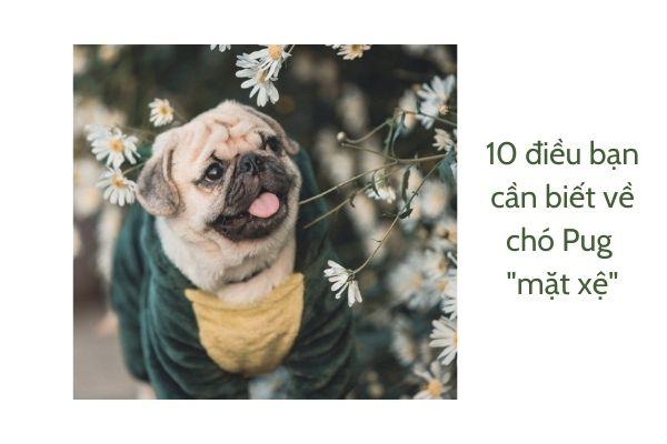 Cho Chihuahua 6
