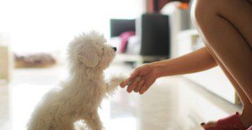 huan luyen poodle trong moi hanh dong jpg 1602497616 121020201713361